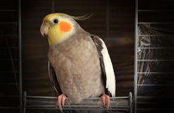 Yellow Orange Grey Black and White Feather Bird Royalty Free Stock Photos