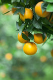 Yellow orange growing on the tree Royalty Free Stock Images