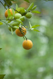Yellow orange growing on the tree Royalty Free Stock Image