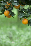 Yellow orange growing on the tree Stock Images