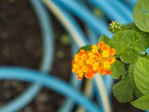 The Yellow Orange Hedge Flower Blooming Royalty Free Stock Images