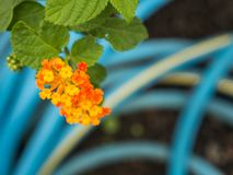The Yellow Orange Hedge Flower Blooming Royalty Free Stock Photography