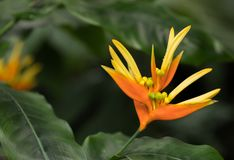 Yellow and orange Heliconia aurantiaca in bloom Stock Photos