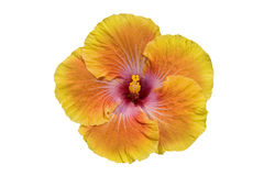 Yellow-Orange Hibiscus изолированный на белизне Стоковое Фото