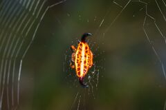 Yellow and orange horned star spider Gasteracantha thorelli sitting in a spiders web, Madagascar
