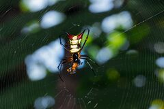 Yellow and orange horned star spider sitting in a spiders web, Peru