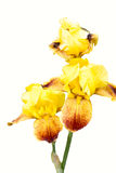 Yellow and orange Iris Royalty Free Stock Images