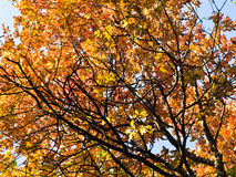 Yellow and orange leaves on a blue sky background at autumn in Belgrade Stock Images