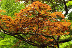 Yellow and orange leaves of Japanese maple tree (Acer palmatum). Focus is in the middle.  stock image