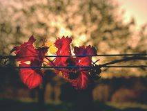Yellow orange leaves on plants in vinery. Autumn begin vineyar. Windy afternoon. Yellow orange leaves on grapevine plants in vinery. Autumn begin vineyar. Windy Royalty Free Stock Photo