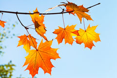Yellow and orange leaves in sunny morning Stock Images