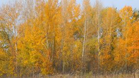 Yellow and orange leaves on the trees in a small grove stock video footage