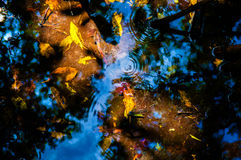 Yellow and orange leaves under water in mangrove forest. Yellow and orange leaves under water with the reflection of sky in mangrove forest Royalty Free Stock Photo