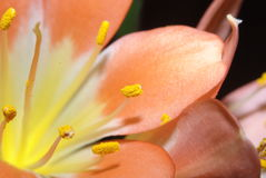 Yellow orange lily Royalty Free Stock Photo