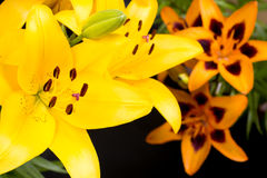 Yellow and orange lily Royalty Free Stock Photos
