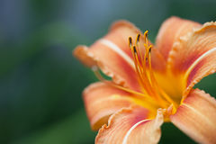 Yellow and orange lily flower Stock Images