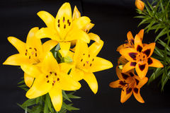 Yellow and orange lily Stock Images