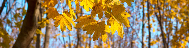 Yellow, orange maple autumn leaves. Banner panorama Royalty Free Stock Photo