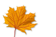Yellow orange maple leaf with red veins isolated Royalty Free Stock Photography