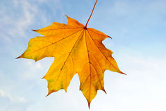 Yellow and orange maple leaf on a white background closeup Royalty Free Stock Photos