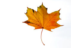Yellow and orange maple leaf on a white background closeup Stock Image