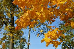 Yellow and orange maple leaves in autumn forest on the background of blue sky.  royalty free stock photos