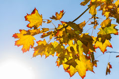 Yellow and orange maple leaves with bright red patches. On the background of bright blue sky Stock Photo