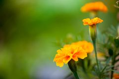 Yellow orange marigold on a blurred green background royalty free stock photography