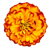 Yellow Orange marigold Flower Isolated on White Background. Orange yellow marigold flower, petals with gradients effect, the orange color gradually becomes Royalty Free Stock Photography