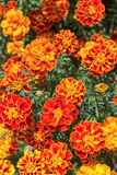 Yellow and orange marigold flowers in the garden Royalty Free Stock Photos