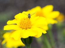 Yellow and Orange Marigold Flowers and Hoverfly Royalty Free Stock Photos
