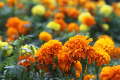Yellow and orange marigolds. In shrubbery Royalty Free Stock Image