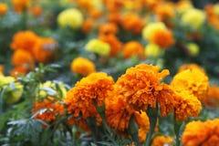 Yellow and orange marigolds Royalty Free Stock Image