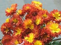 Yellow orange mix Chrysanthemum stock image