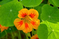 YELLOW AND ORANGE NASTURTIUM FLOWER. Beautiful yellow and orange flower with round, star veined leaves Stock Photos
