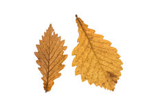Yellow orange oak leaves isolated Stock Images