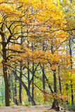 Yellow and orange oak trees in autumn Royalty Free Stock Image