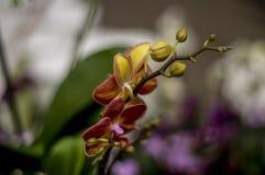Yellow, orange Orchid stock image
