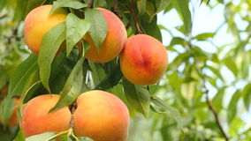Yellow-orange peaches on branch with green leaves. Five yellow-orange peaches on green banch, wind blowing moving leaves, blue sky on backgrounds, bright sunny stock video footage