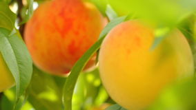 Yellow and orange peaches growing on tree stock video