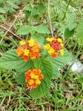 yellow orange peatles flowers greenary stock images