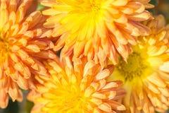 Yellow and orange petals of autumn colors macro stock photos