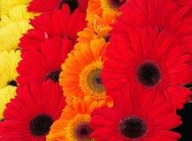 Yellow, orange and pink gerbera daisies royalty free stock image