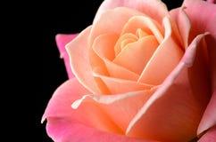 Yellow, orange, pink rose isolated on black background. Yellow, orange, pink creamy rose isolated on black background, multicolor, dreamy soft colors royalty free stock image