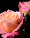 Yellow, orange, pink roses isolated on black background Stock Photos