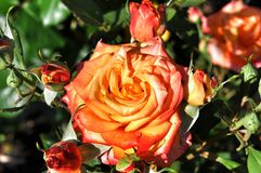 Yellow orange pink roses Stock Image