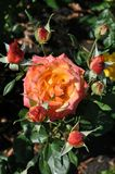 Yellow orange pink roses Royalty Free Stock Images