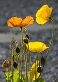 Yellow and orange poppies Stock Photos