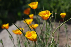 Yellow orange poppies in Oregon Stock Image