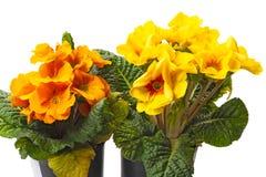 Yellow and orange Primroses on white royalty free stock photos